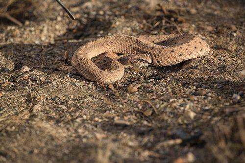TC-Sidewinder Rattlesnake-D50040-000009.jpg
