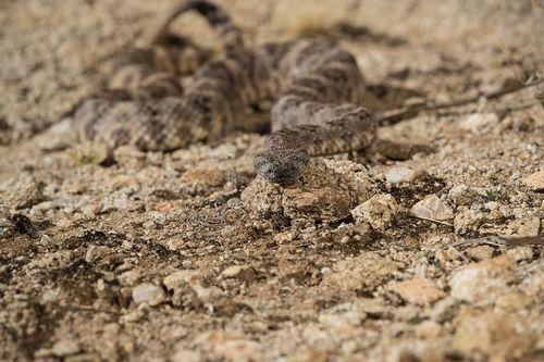 TC-Speckeled Rattlesnake-D50050-000009.jpg