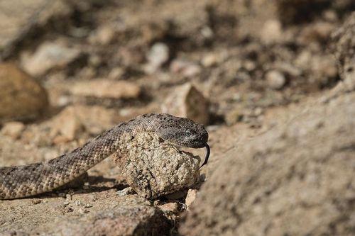 TC-Speckeled Rattlesnake-D50050-000012.jpg