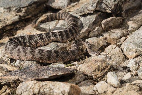 TC-Tiger Rattlesnake-D50060-000002.jpg