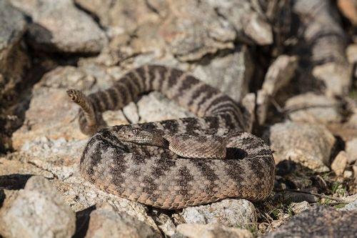 TC-Tiger Rattlesnake-D50060-000015.jpg