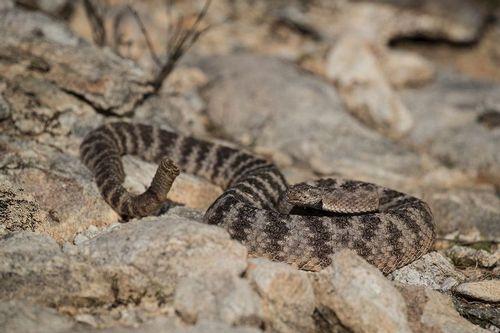 TC-Tiger Rattlesnake-D50060-000027.jpg