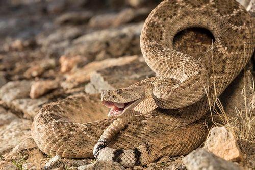 TC-Western Diamondback Rattlesnake-D50000-000001.jpg