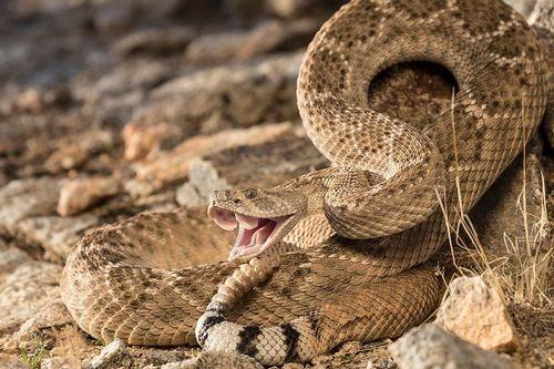 TC-Western Diamondback Rattlesnake-D50000-000007.jpg