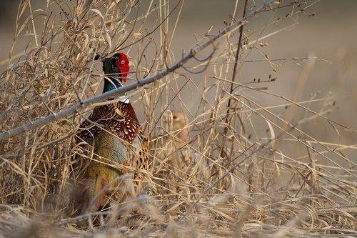 TC-Ringneck Pheasant Rooster-D00718-00009.jpg