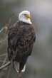 TC-Bald Eagle-D00026-01847-2(1).jpg
