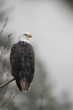 TC-Bald Eagle-D00026-01862-2.jpg