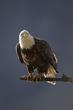 TC-Bald Eagle-D00026-01924-2.jpg