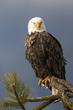 TC-Bald Eagle-D00026-02305-3.jpg