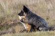 TC-Fox KitsD-00001.jpg