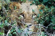 NNP Lion in bush B.jpg