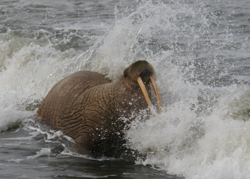 Female Walrus - 5574-001.jpg