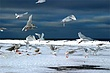 IMG_3769-Seagulls-Enhanced-Oil-W.jpg
