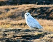 Snowy Owl - 73692 - Angled Strokes - Non-selected head-W.jpg