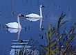Swans - 4978-1-Watercolor 6.0.3.jpg
