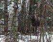 Moose-0953-001-watercolor 901.jpg