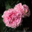 Pink Peonies 10x10.jpg