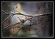 Slate Colored Junco in Winter Crabapple 8x11.jpg
