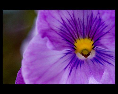 Purple violet.jpg