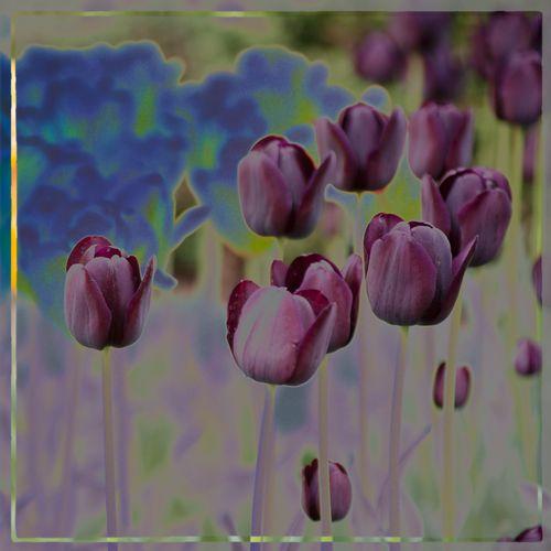 35. Purple Tulips_1172.jpg