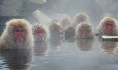 Snow Monkeys of Nagano 8293.jpg