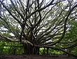 The-Banyan-Tree.jpg