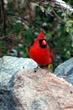 cardinal in virginia.jpg