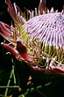Protea 1.jpg