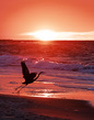 Flying-Heron_SUNRISE_Gulf-Shores-AL_2000.jpg