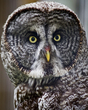 Great Grey Owl.jpg