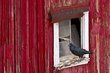 Raven on red barn.jpg