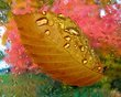 Beech leaf on rainy window.jpg