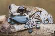 Amazon Milk Frog.jpg