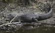 American Alligator Full Size.jpg
