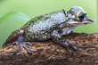 Casque Headed Tree Frog.jpg