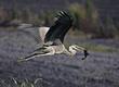 Great Blue Heron - Flying.jpg
