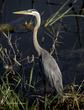 Great Blue Heron - Standing.jpg