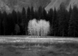 Ahwhanee-Meadow-Cottonwoods-in-black-and-white.jpg