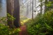 Path-Through-the-Redwoods2.jpg