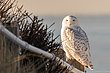 20140103-HamSP_Snow_Owl5966-Edit.jpg