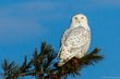 20140103-HamSP_Snow_Owl5977-Edit.jpg