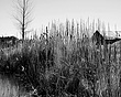 Cuba Pond Through Reeds BW 16X20.jpg