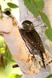 1584 Northern Pygmy Owl 20x30.jpg