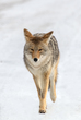 1624 Coyote Winter XII  24x336.jpg