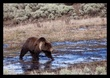 Grizzly Spring I Lamar Valley RI.jpg