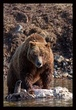 Grizzly Survivor I  RI.jpg