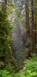 Redwoods Vertical Panorama.jpg