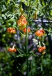 Tiger Lilies II.jpg