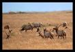 Tule Elk.jpg