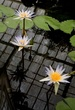 Waterlily I.jpg